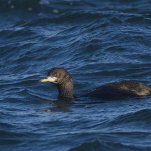 漁港のチシマウガラス幼鳥 Red-faced Cormorant