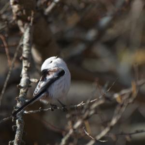 公園でシマエナガ Long-tailed Tit