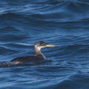 港のアカエリカイツブリ幼鳥 Red-necked Grebe