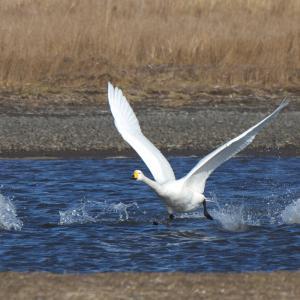 オオハクチョウ飛翔 Whooper Swan