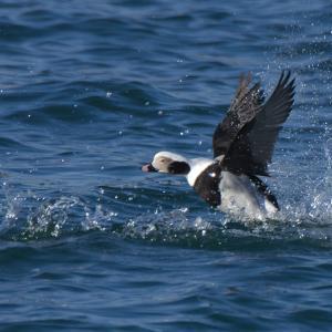 コオリガモ雄の滑走と飛翔 Long-tailed Duck
