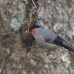 公園のウソ Bullfinch