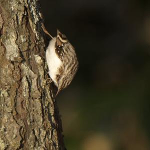 キバシリを暁の出撃で Eurasian Treecreeper