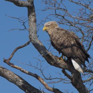 オジロワシ成鳥 White-tailed Eagle