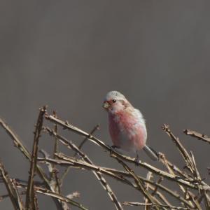 帰って来たベニマシコたち Long-tailed Rosefinch