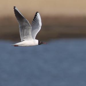 ユリカモメ成鳥夏羽 Black-headed Gull