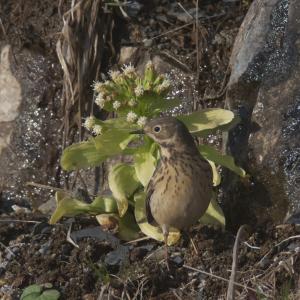 夏羽のタヒバリ Buff-bellied Pipit