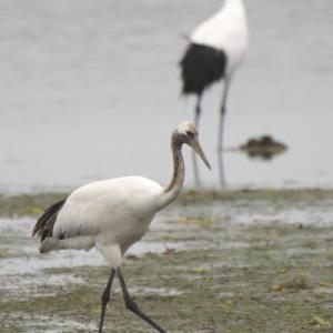 風連湖のタンチョウ若 Red-crowned Crane