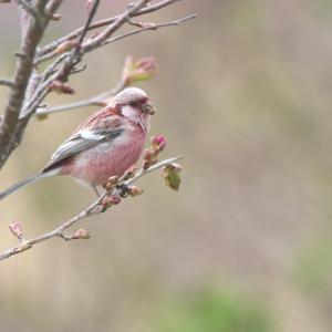 ベニマシコの雄たち Long-tailed Rosefinch