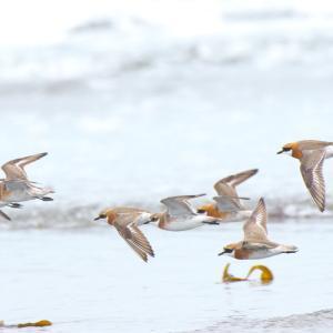 砂浜でメダイチドリ Lesser Sand Plover