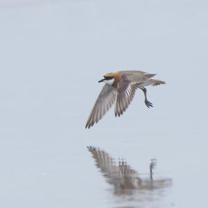 メダイチドリのちょい飛び Lesser Sand Plover