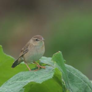 蕗にシマセンニュウ Middendorff's Grasshopper Warbler