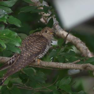 ツツドリ雌赤色型 Oriental Cuckoo