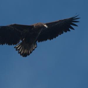 風連湖を飛ぶオジロワシ幼鳥 White-tailed Eagle