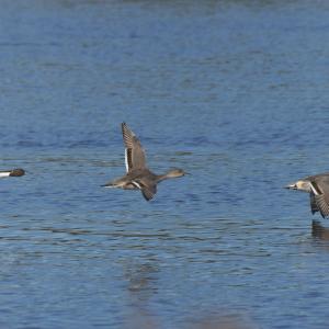 湖上を飛ぶオナガガモ Northern Pintail