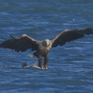 オジロワシの狩り White-tailed Eagle