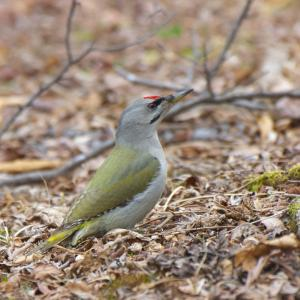 ヤマゲラ雄 Grey-headed Woodpecker