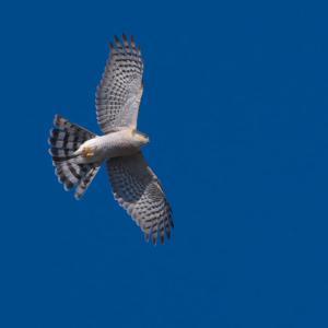 頭上を飛ぶハイタカ Eurasian Sparrowhawk