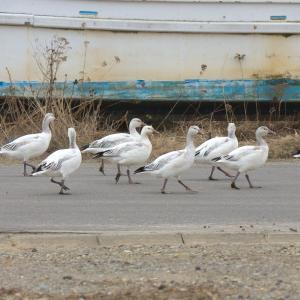 漁港のハクガン若鳥たち Snow Goose