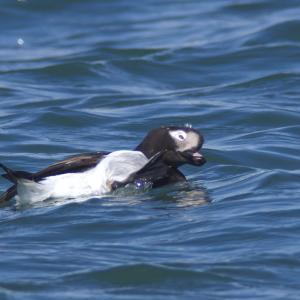 換羽中のコオリガモ'21その5~カイカイ Long-tailed Duck