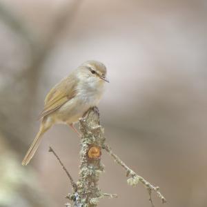 公園でウグイス Japanese Bush Warbler