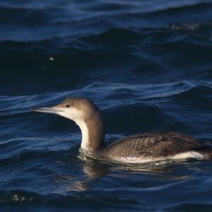 オオハム幼鳥のカイカイと羽繕い Black-throated Loon