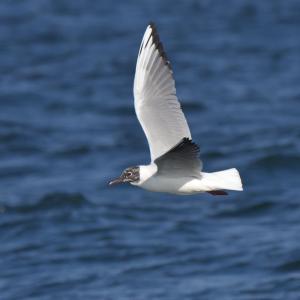 換羽中のユリカモメ Black-headed Gull
