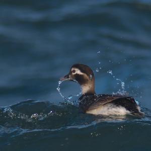換羽中のコオリガモ'21最終回 Long-tailed Duck