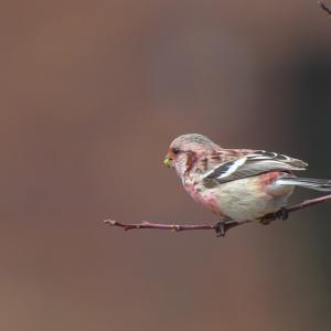 ベニマシコ雄Long-tailed Rosefinch