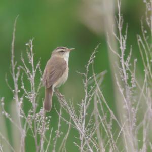 コヨシキリがたくさん Black-browed Reed Warbler