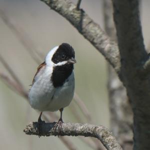 湿原でオオジュリン雄 Common Reed Bunting