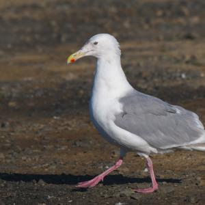ワシカモメ飛来'21 Glaucous-winged Gull