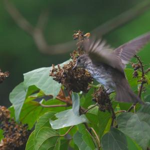 アカメガシワにエゾビタキ Grey-streaked Flycatcher