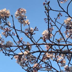 職場の駐車場の桜で我慢