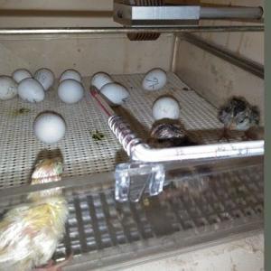 追加、2羽孵化