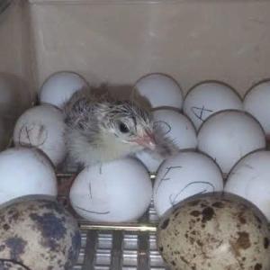 1羽、孵化