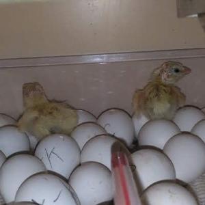 1日早い孵化