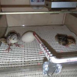 温め隊の抱卵で、また孵化しちゃった