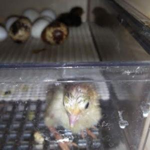 並ウズラ2羽孵化しました~♪