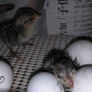 雛3羽、捕まえた