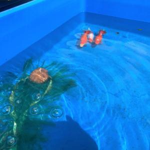 今年も金魚シーズンが始まりました