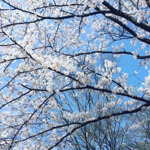 春だねー。