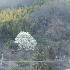 安浦春の花便り・コブシ1本木