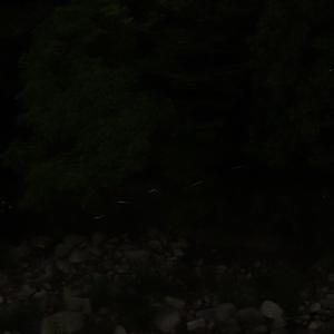 ホタルが飛び始めた。静かに見守ろう