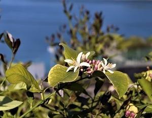レモンの花が咲いた