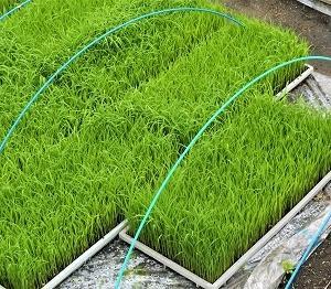 鮮やかな緑の苗床