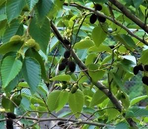 「禿縛(はげしばり)」といえばこの木、「ヤシャブシ」