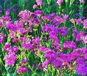 雑草魂の可憐な花、「ムシトリナデシコ」