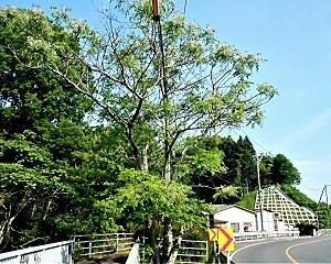 国道脇のセンダンの木