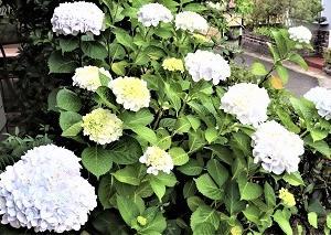 6月の花アジサイ